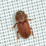 Ataenius sp.  (prob. scabrelloides)