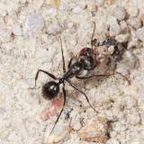Camponotus sp.