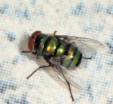 Chrysomya sp. (C. albiceps or putoria)
