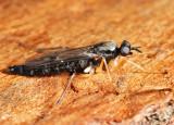 Xylophagus cinctus