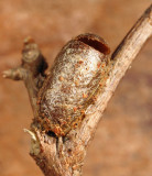 Introduced Pine Sawfly - Diprion similis (cocoon)