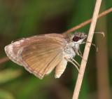 Chiomara Skipper - Chiomara basigutta