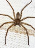 Huntsman Spider - Sparassidae - Heteropoda sp.
