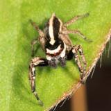 Freya cf. longispina