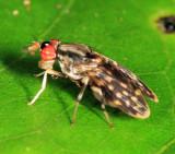 Lauxaniidae - Baliopteridion sp.