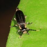 Cantharidae - Pygodiscodon sp.