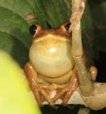 Gladiator Tree Frog - Hypsiboas boans