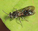 Velvet Ant (male)