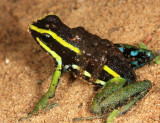 Three-striped Poison Dart Frog - Ameerega trivittata (with tadpoles on her back)