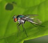 Long-legged Fly - Dolichopodidae - Condylostylus sp.