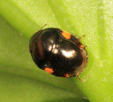 Ebony Bug - Thyreocoridae