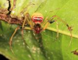 Pirate Spider - Mimetidae -  Gelanor sp.