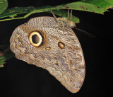 Pale Owl-Butterfly - Caligo telamonius