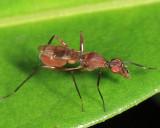 Stilt-legged Fly - Micropezidae