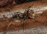 Camponotus rapax?