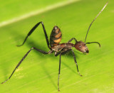 Guyana Ants & Termites