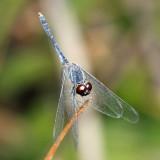 Erythrodiplax sp.