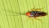 Pseudophyllodromia sp.