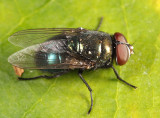 Black Blow Fly - Phormia regina
