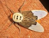 Ischnognatha semiopalina
