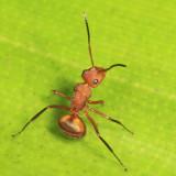 Camponotus rectangularis?
