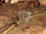 Ogre-faced Spider - Deinopidae