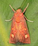 Melese dorothea