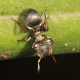 Cephalotes 3321.JPG