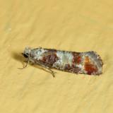 Rhyacionia sp.