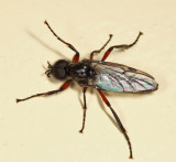 Bibio femoratus (male)