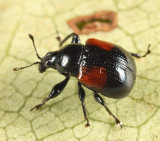 Oak Leafrolling Weevil - Attelabus bipustulatus