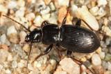 Pterostichus adstrictus