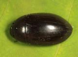 Hydrochara sp.
