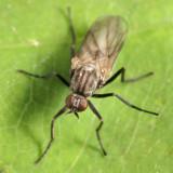 Rhamphomyia sp. - subgenus Megacyttarus