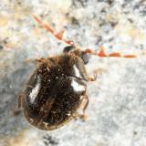 Caenocara sp.