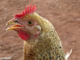 Lethem chicken