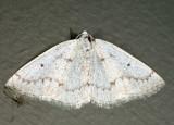 6668 - Gray Spring Moth - Lomographa glomeraria