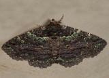 8694 - Green-dusted Zale - Zale aeruginosa