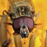 Cheilosia sp.