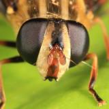 Helophilus fasciatus