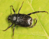 Hoplia trivialis (male)