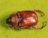 Hoplia trivialis (female)