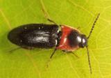 Ampedus mixtus