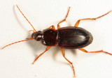 Ground Beetles - Tribe Sphodrini