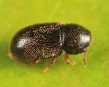 Cis chinensis (female)