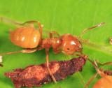 Citronella Ant - Lasius sp.
