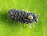 Neanuridae - Neanura muscorum