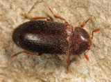 Black Larder Beetle - Dermestes ater