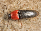 Ampedus collaris