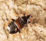 Xylocoris cursitans